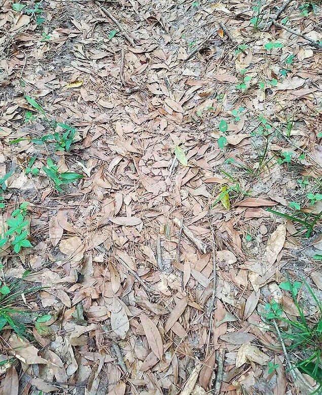 Floridalı bir sürüngen bilimi öğrencisi, geçenlerde doğada kamufle olmuş bir yılanın fotoğrafını paylaşınca ortalık karıştı.