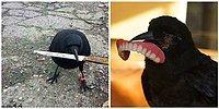 20 фото, доказывающих, что вороны самые вредные птицы в мире