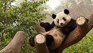 The Panda Trying To Hinder The Caretaker With Cuteness!
