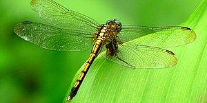 Faking Death To Avoid Sex? Yes, Female Dragonflies Do It.