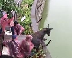 Разъяренные акционеры китайского зоопарка скормили тиграм живого осла