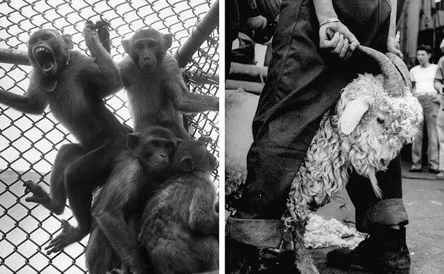 4. Solda: 1946 yılı Bikini atom bombasının testinde denek olarak kullanılan maymunlar.