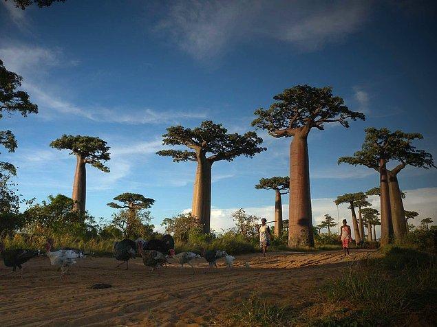 15. Avenue of the Baobabs, Madagaskar