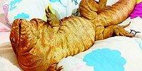 Эта ящерица размером с собаку стала новой звездой Instagram