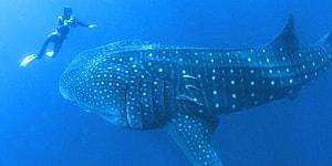 Китовая акула попросила дайвера о помощи, потянув его за руку