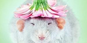 Кто сказал, что крысы гадкие?! Эти милые фотографии убедят вас в обратном!