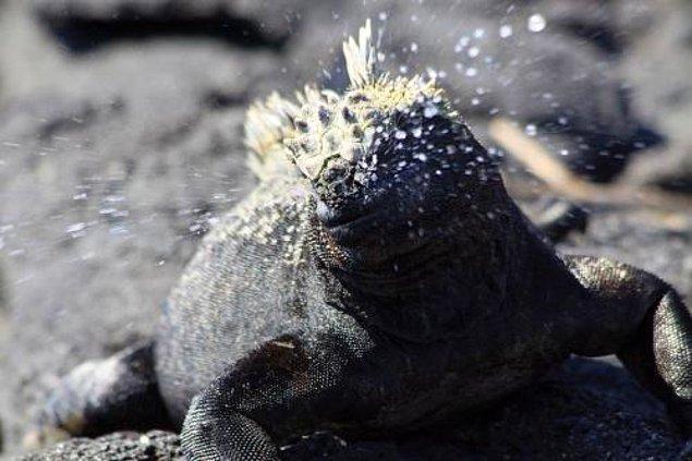 13. İguanalar hayvanlar aleminde en çok hapşıran canlılardır.