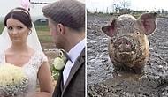 Невеста была в бешенстве, узнав, что жених организовал свадьбу на свиноферме