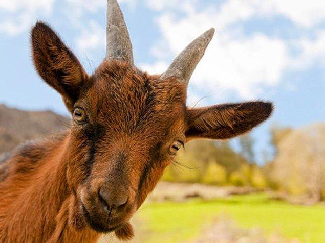 9. Cinsel problemler için kullanılan keçi testisleri