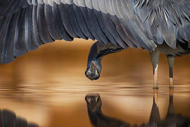 9. Grey Heron (Gri Balıkçıl) - Ahmad Al-essa, Kuveyt, Detaya Verilen Dikkat Kategorisi: Gümüş