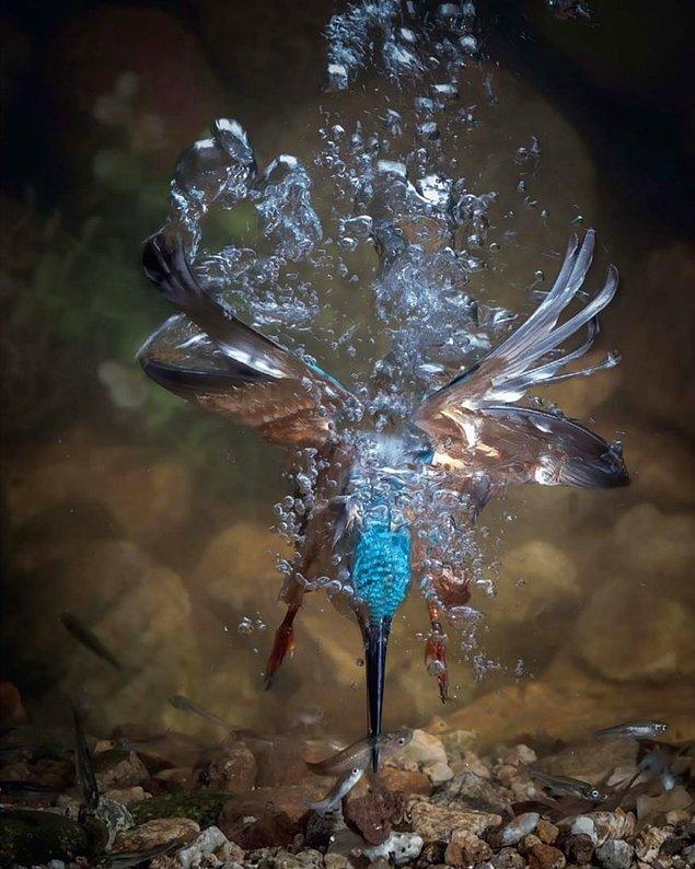 15. I Lost My Mom, Common Kingfisher (Annemi Kaybettim, Bayağı Yalıçapkını) - Fahad Al-enezi, İspanya, Kuş Davranışı Kategorisi