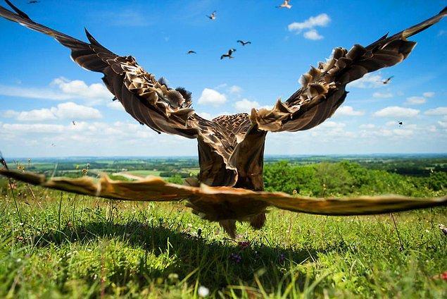 20. Wide-angle Kite, Red Kite (Geniş Açılı Uçurtma, Kızıl Çaylak) - Jamie Hall, İngiltere, Uçan Kuşlar Kategorisi