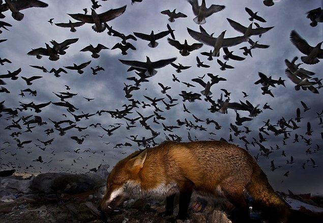 23. Seagulls And Fox (Martılar ve Tilki) - Gabor Kapus, Uçan Kuşlar Kategorisinde Şeref Ödülü