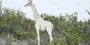 В Кении впервые засняли на видео редких белых жирафов, они просто красавчики!