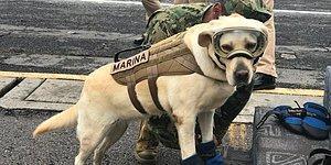 Эта героическая собака помогла спасти 52 человека после землетрясений в Мексике!