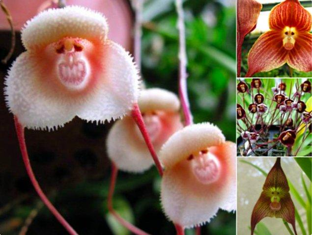 19. Orchis simia ya da maymun orkidesi belki çok korkunç görünmüyor ama korkanı da çok!