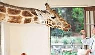 В этом отеле можно позавтракать с жирафом!