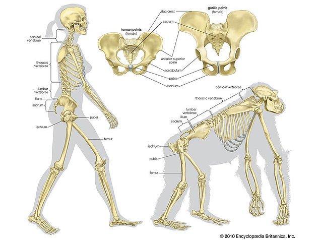Fakat, gorilin kemikleri insan kemiklerine göre daha kalın ve dayanıklı.