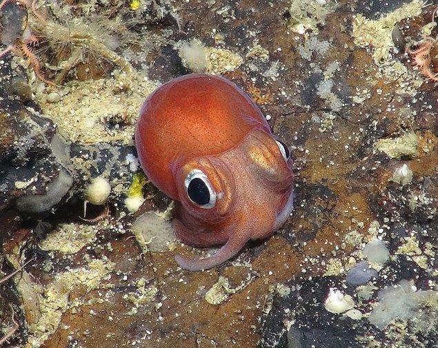 2. Bu kısa kuyruklu yavru mürekkep balığı İskoçya'nın batı kıyısında, su seviyesinin 1.400 metre derinliğinde görüntülendi.