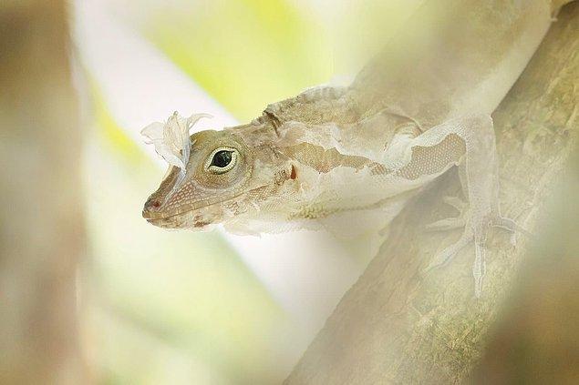 22. Anolis kertenkelesi derisini değiştirirken ipeksi bir görünüm alıyor.