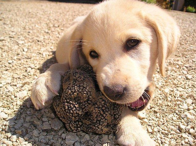 2. Siyah ve beyaz olmak üzere iki farklı türü var ve yer altında yetişen bu mantarı bulabilmek için iyi eğitimli köpekleri kullanıyorlar.