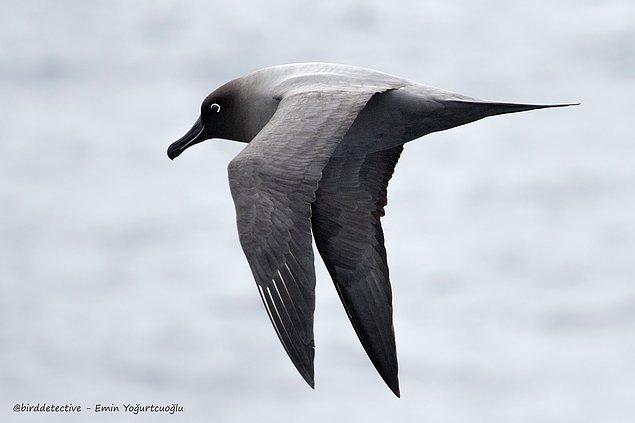 Kül renkli albatros, Antarktika