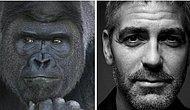 Интернет-мир спорит, кто фотогеничнее, сравнивая гориллу Шабани с Джорджем Клуни!