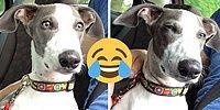 25 уморительных реакций собак, которые поняли, что их везут к ветеринару