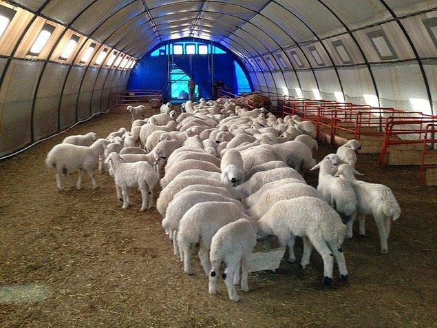 Koyunlar nereden temin edilecek?