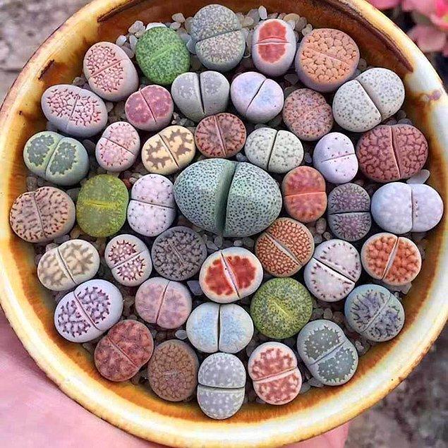 12. 'İlginç taşlara bakın!' demeyi çok isterdik ama bu gördükleriniz birer bitki!