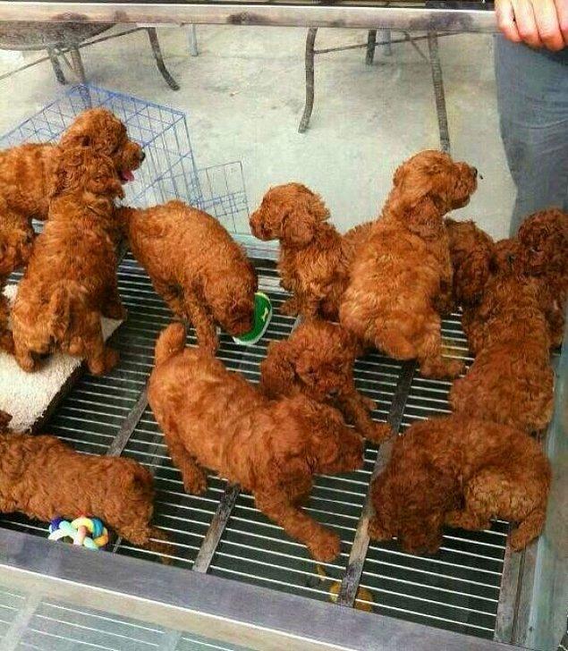 20. Kızarmış tavuk mu köpek yavruları mı?