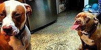 """Осторожно, """"злая"""" собака! 15 невероятно милых фоток питбулей"""