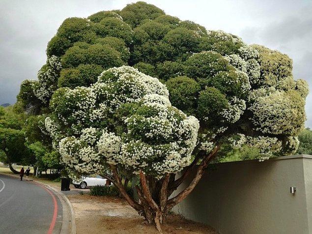 12. Bu ağaç tıpkı brokoliye benziyor.