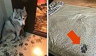 20 смехотворных фото, доказывающих, что хаски - самые странные псы на свете