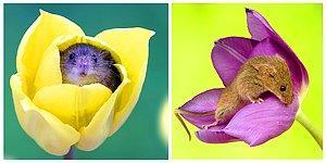 Делимся весной! 🌷 20 классных снимков из фотосессии с мышонком и тюльпанами в главных ролях