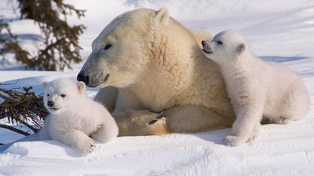 7. Bu kadar uzay bilgisi yeter. Kutup ayıları kızılötesi kameralarda görünmüyor.