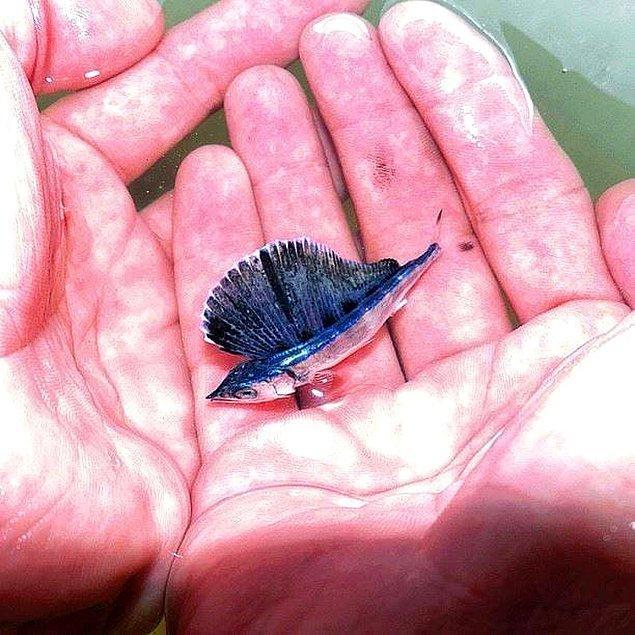 1. Sevimliliğiyle gönlümüzde taht kuran küçük bir mavi yelken balığı.