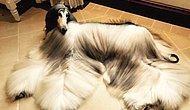 Шерсть этой самой стильной собаки в мире выглядит в сто раз лучше, чем ваша салонная укладка!