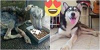 Доброта спасет мир: Эта собака хаски была обречена на смерть, но её все-таки спасли