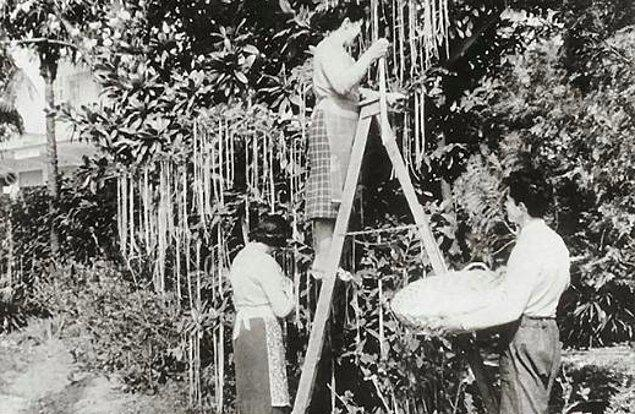 2. 1950'li yıllarda İtalya'nın Crotone şehrinde görünüşü ve tadı spagettiye benzeyen bir meyve yetişen ağaçlar tespit edilmiştir.