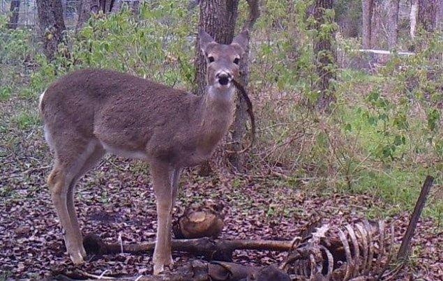 2. İnsan yiyen bir geyik