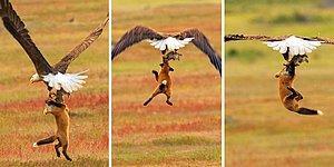 13 эпизодов эпической битвы между лисой и орланом за кролика: а за кого болеете вы?