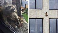 «Давай, енот, давай!»: Как американцы с замиранием сердца следили за тем, как отважный зверь покоряет небоскреб