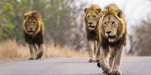 Мужчины похитили и избивали 12-летнюю девочку в Эфиопии, но на ее защиту встали львы