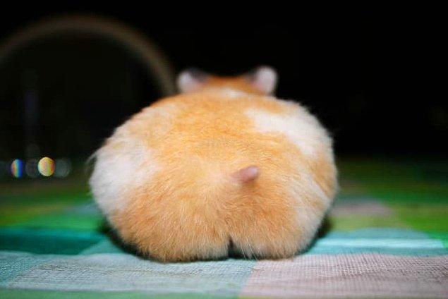 1. Şu küçük tatlış hamster poposuna bir bakar mısınız? 😍