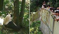 В Китае группа туристов кидалась камнями в панду, чтобы разбудить животное