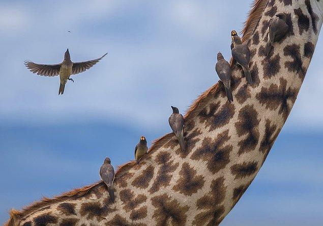 13. Fırsatçı temizlikçi kuş, Kenya