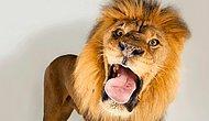 Лев, который залез в машину к туристам, доказал, что эти хищники - просто большие кошки