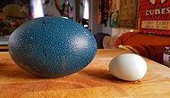 Парень вырастил страуса из яйца, купленного в Интернете