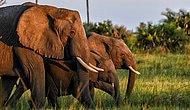 В Африке благодаря ДНК-тесту раскрыто 3 крупных картеля, занимающихся контрабандой слонового бивня